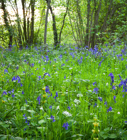 Bluebell Woodland Mix