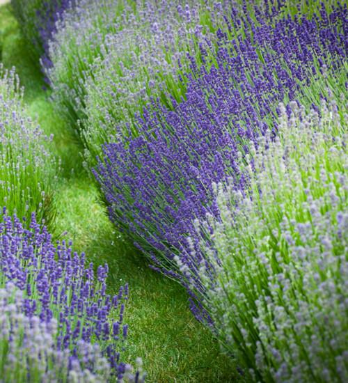 Line a Path Lavender Mix