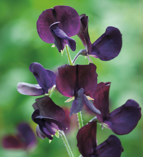 Wiltshire Ripple and Almost Black Sweet Pea Mix