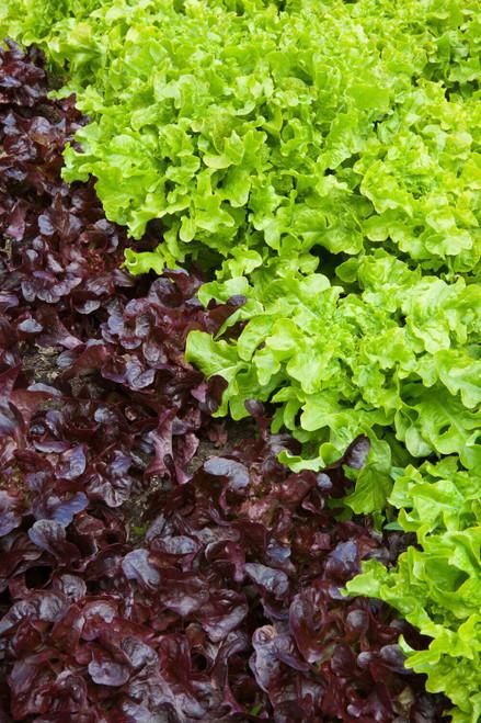 Lettuce Oak Leaf Collection