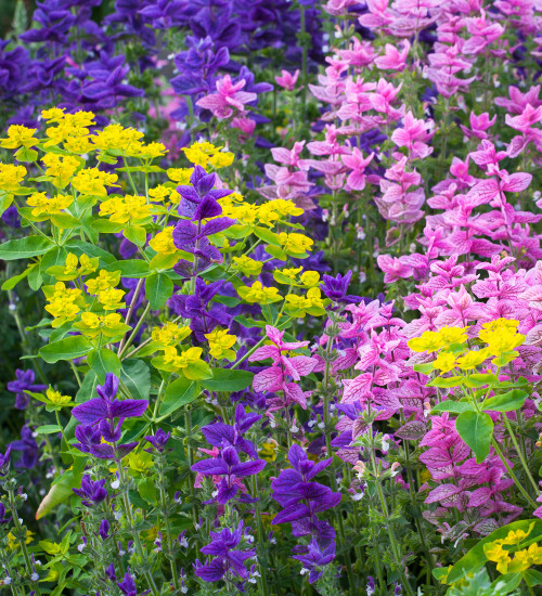 Special Offer Salvia 'Blue Monday' and 'Pink'