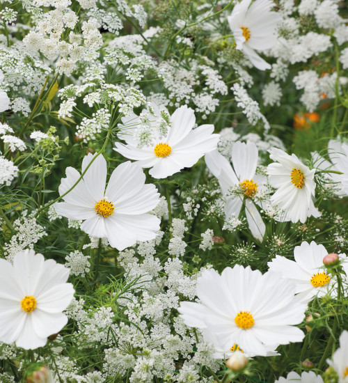 Cosmos and Ammi Collection