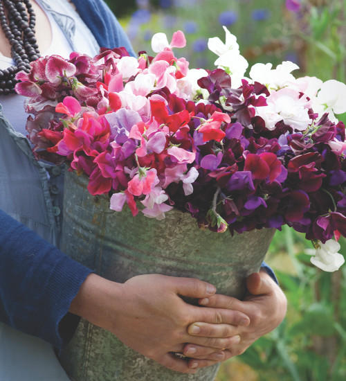 Buckets of Sweet Peas Collection