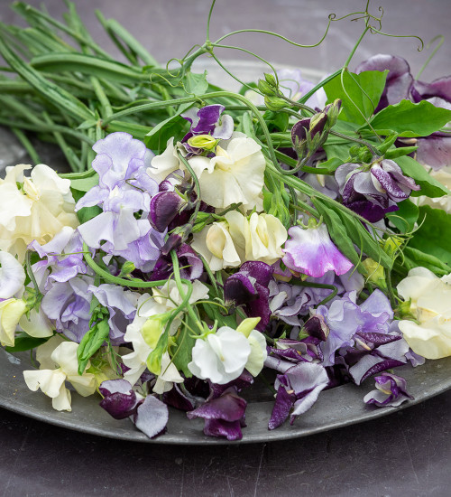 Delft Sweet Pea Collection