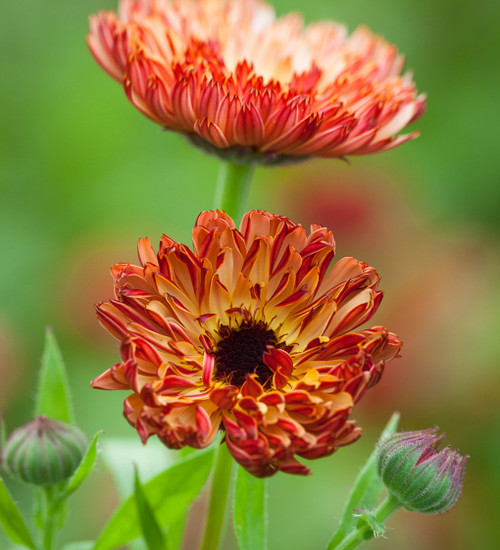Calendula officinalis 'Touch of Red Buff'