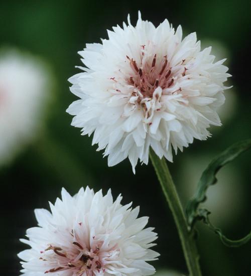 Centaurea cyanus 'White'