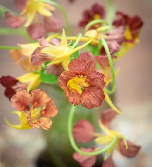 Nasturtium 'Purple Emperor' (Tropaeolum majus)