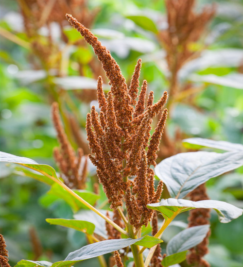 Amaranthus cruentus 'Hot Biscuits'