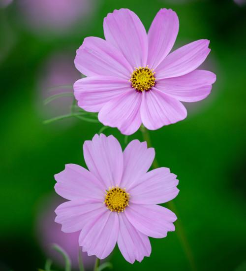 Cosmos bipinnatus 'Sensation Pinkie'