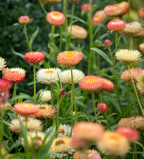 Helichrysum bracteatum 'Salmon Rose'