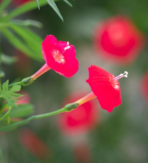Ipomoea quamoclit 'Cardinalis'