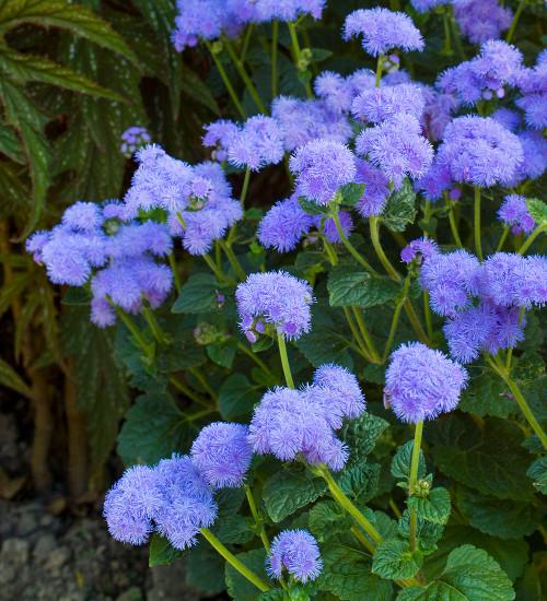 Ageratum houstonianum 'Blue Horizon' F1