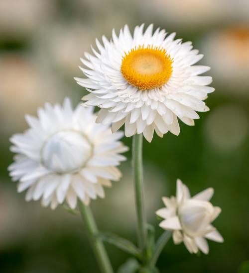 Xerochrysum bracteatum 'White' (syn. Helichrysum)