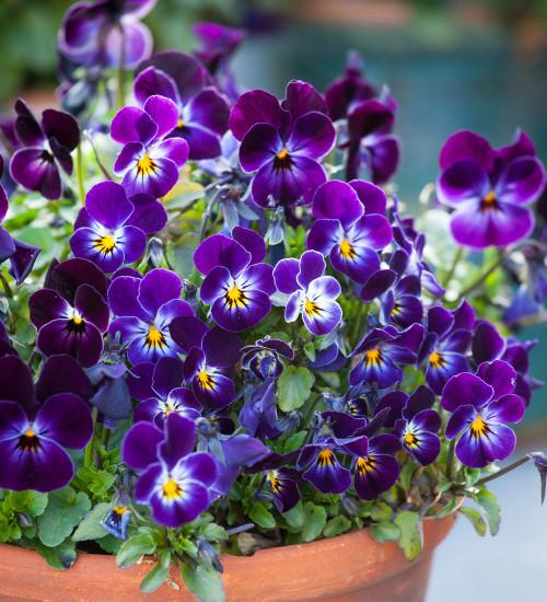 Viola cornuta 'Phantom' F1