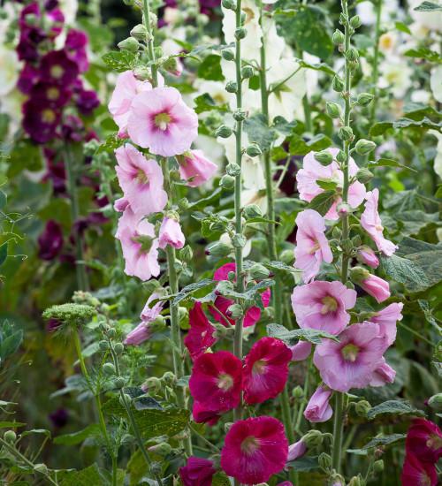 Alcea rosea 'Giant Single Mixed'