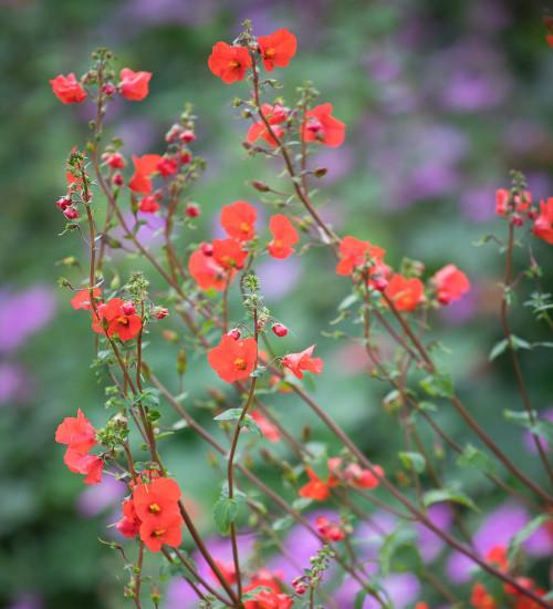 Alonsoa warscewiczii 'Scarlet' ('Mask Flower')