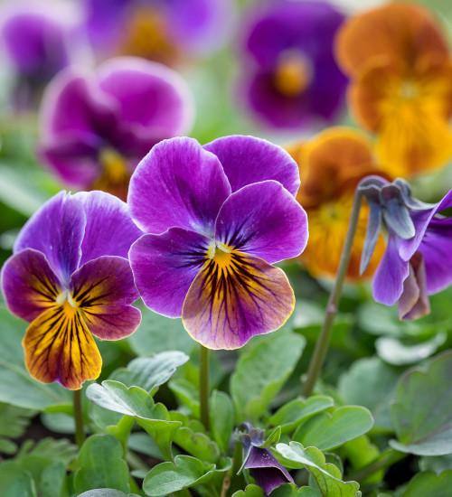 Viola cornuta 'Antique Shades' F1