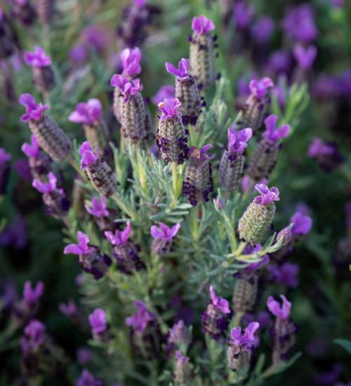 Lavandula stoechas 'Sancho Panza' (French Lavender)