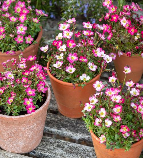 Saxifraga x arendsii 'Flower Carpet'