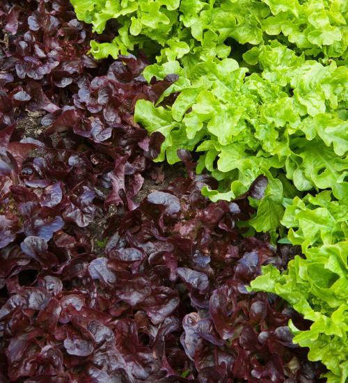 Lettuce 'Red Salad Bowl'