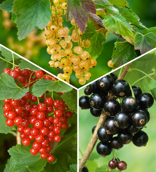 Ultimate Currant Collection
