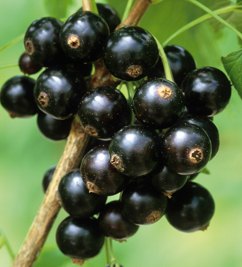 Blackcurrant 'Ebony'