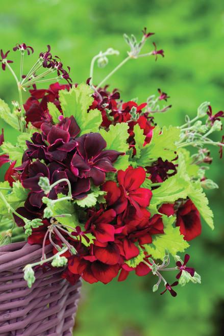 Venetian Pelargonium Collection