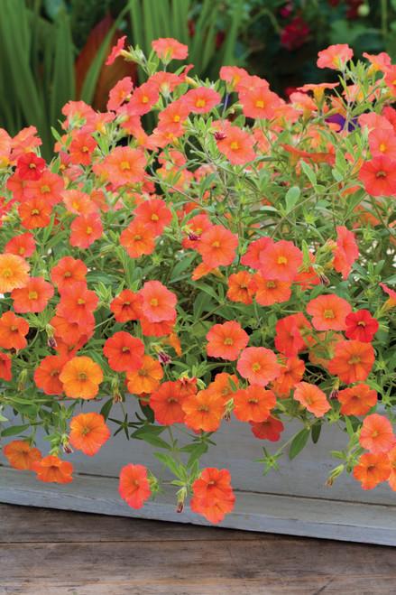 Calibrachoa 'Can-Can Orange'