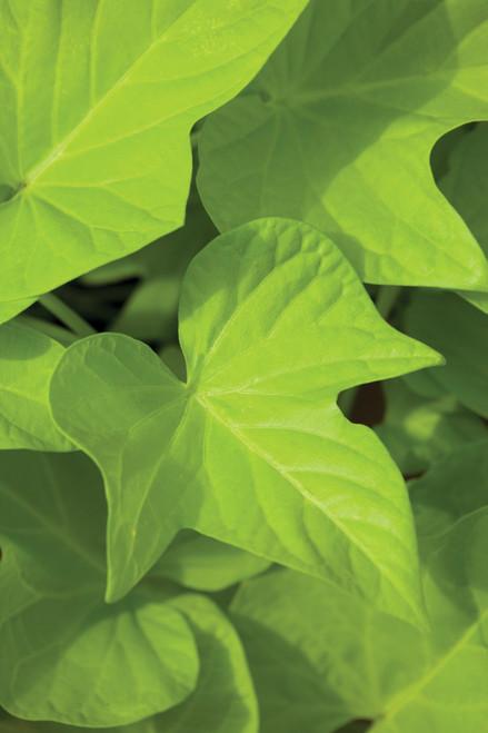 Ipomoea batatas 'Sweet Caroline Green'