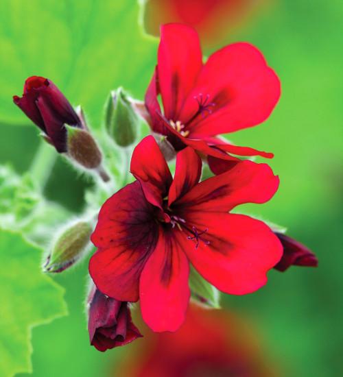 Pelargonium 'Mystery'