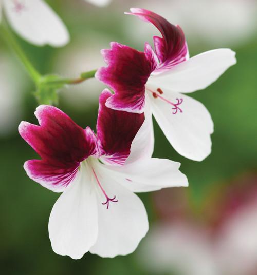 Pelargonium 'Australian Mystery'