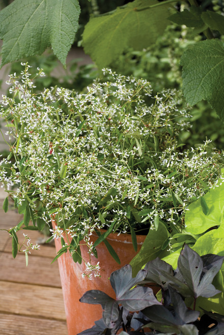 Euphorbia hypericifolia 'Diamond Frost'
