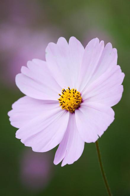 Cosmos 'Sonata Pink'