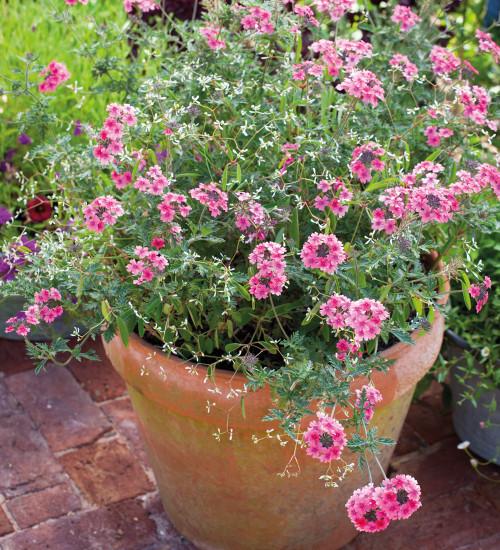 Verbena and Euphorbia Collection