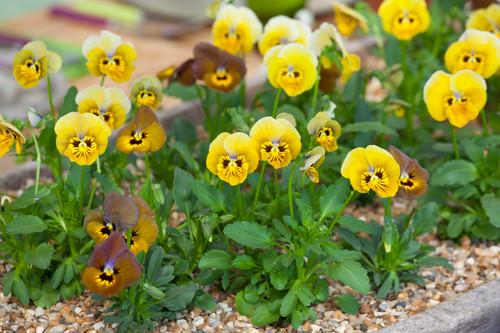 Edible Viola Collection