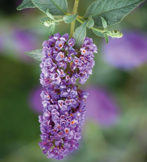 Buddleia 'Dreaming Purple'