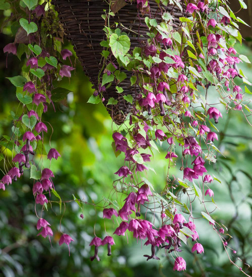 Rhodochiton atrosanguineus (Purple Bells)