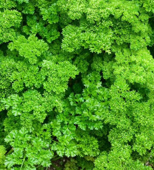 Parsley 'Moss Curled'