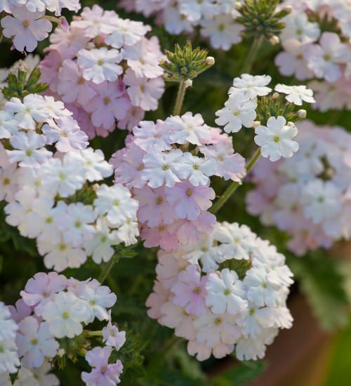 Verbena peruviana 'Endurascape White Blush'