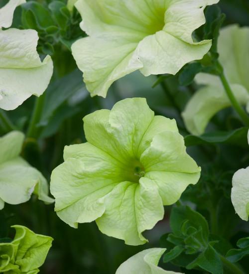 Petunia grandiflora 'Sophistica Lime Green' F1
