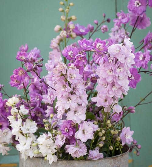 Summer Flowering Delphinium Collection