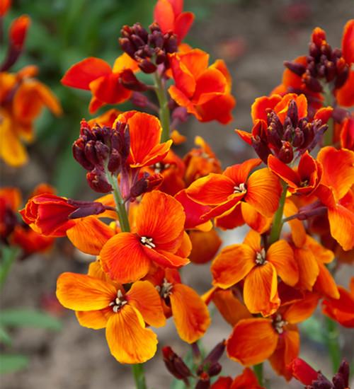 Wallflower 'Sunset Orange' F1