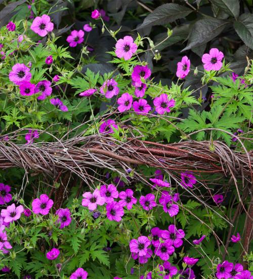 Geranium psilostemon