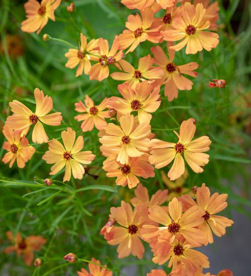 Coreopsis lanceolata 'Mango Punch'