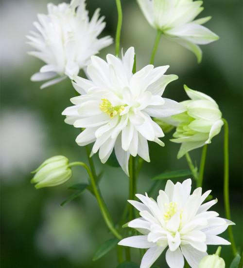 Aquilegia vulgaris var. stellata 'White Barlow'