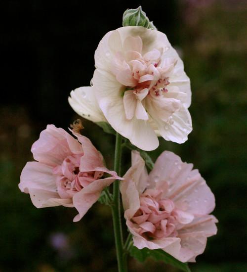 x Alcalthaea suffrutescens 'Parkfrieden'