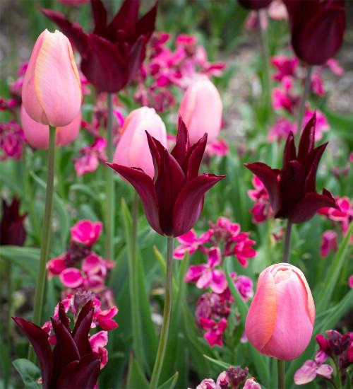 Tulip 'Sarah Raven' and Tulip 'Menton' with Wallflower 'Sugar Rush Purple Bicolour' F1