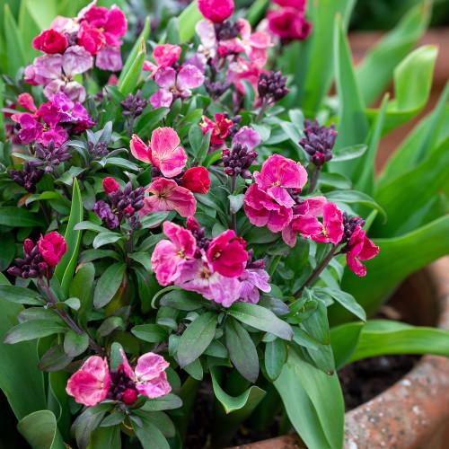 Wallflower 'Sugar Rush Purple Bicolour' F1