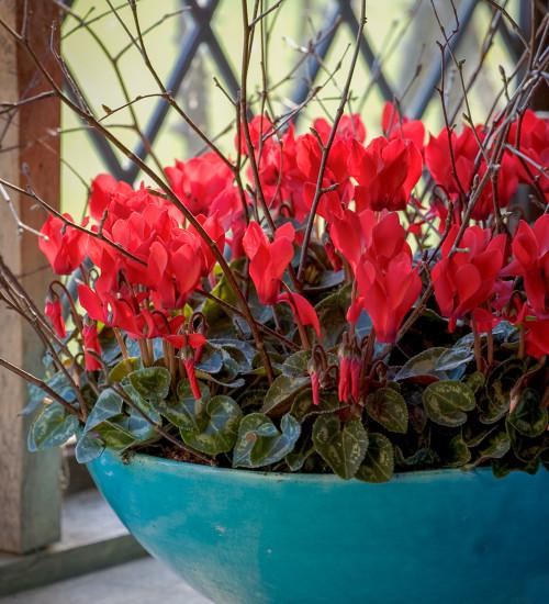 Cyclamen persicum 'Rouge Ecarlate'