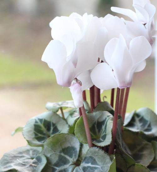 Cyclamen persicum 'Blanc Pur'